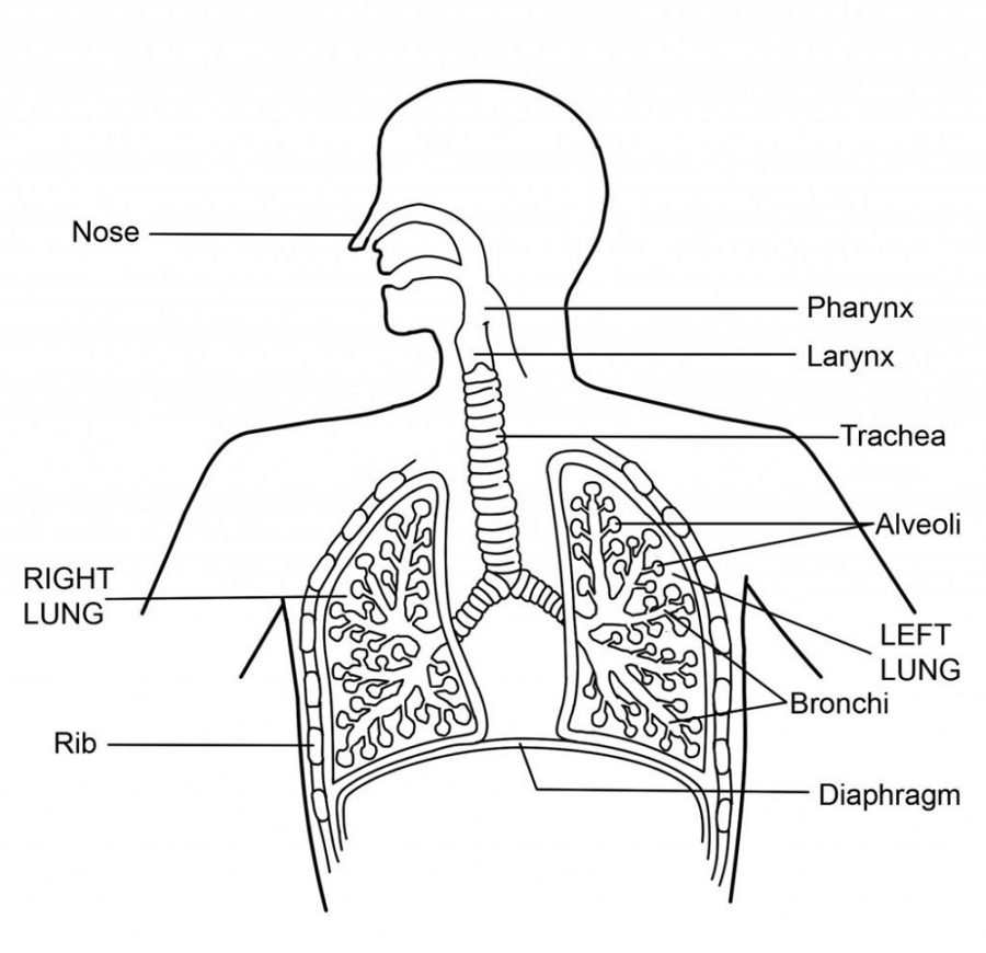 diagram of lungs printable