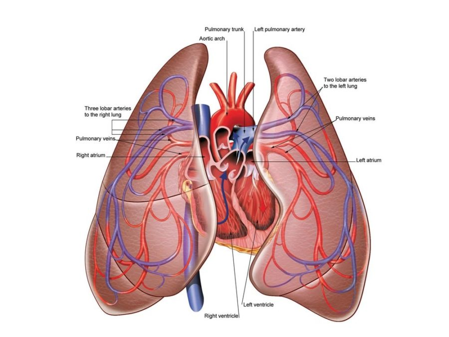 diagram of lungs with heart
