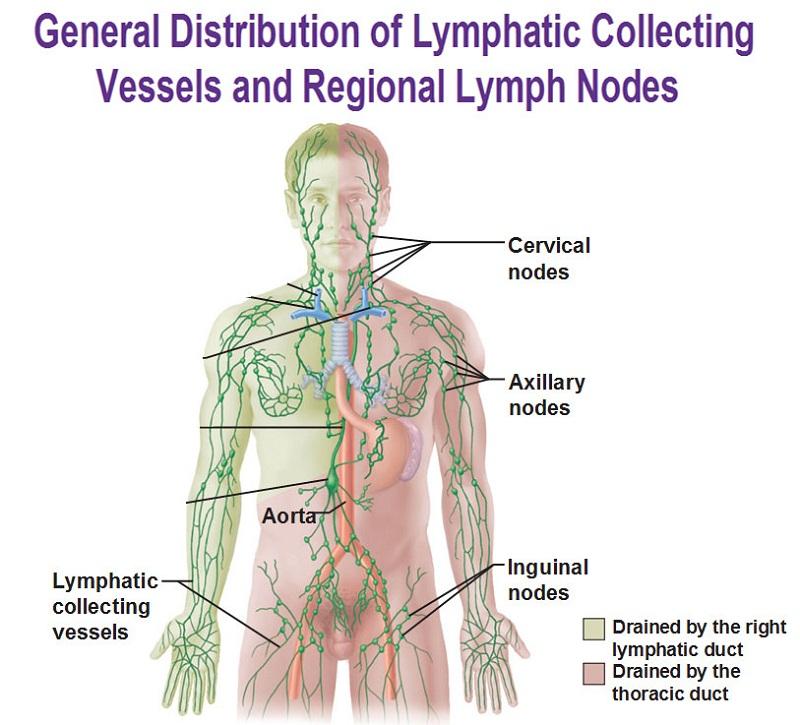 diagram of lymph nodes human