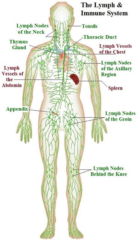 diagram of lymph nodes system