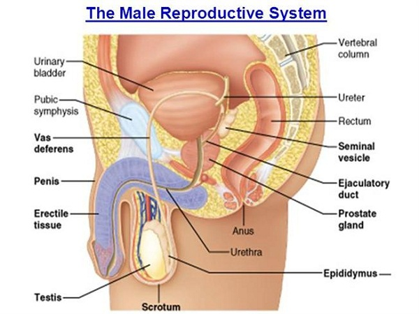 diagram of male reproductive system anatomy