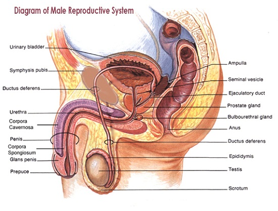 diagram of male reproductive system example