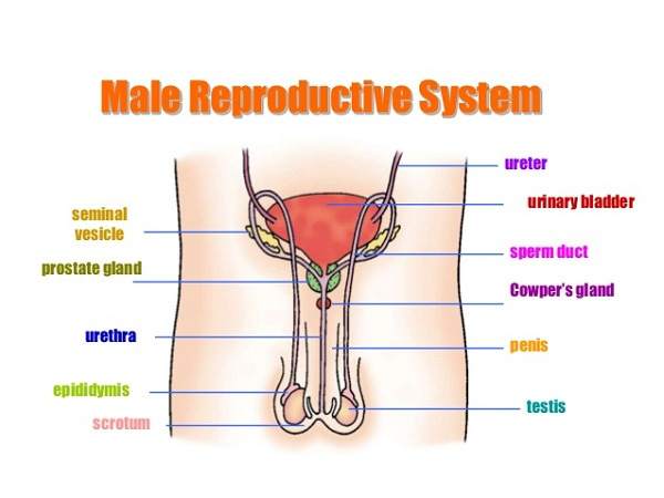 diagram of male reproductive system human