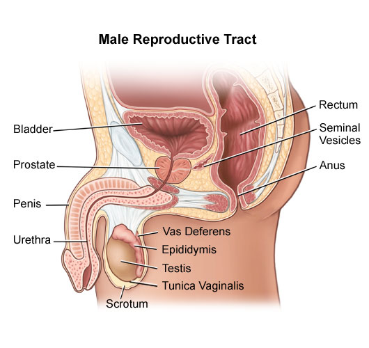 diagram of male reproductive system organs