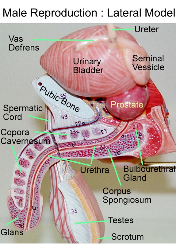 diagram of the male reproductive system anatomy
