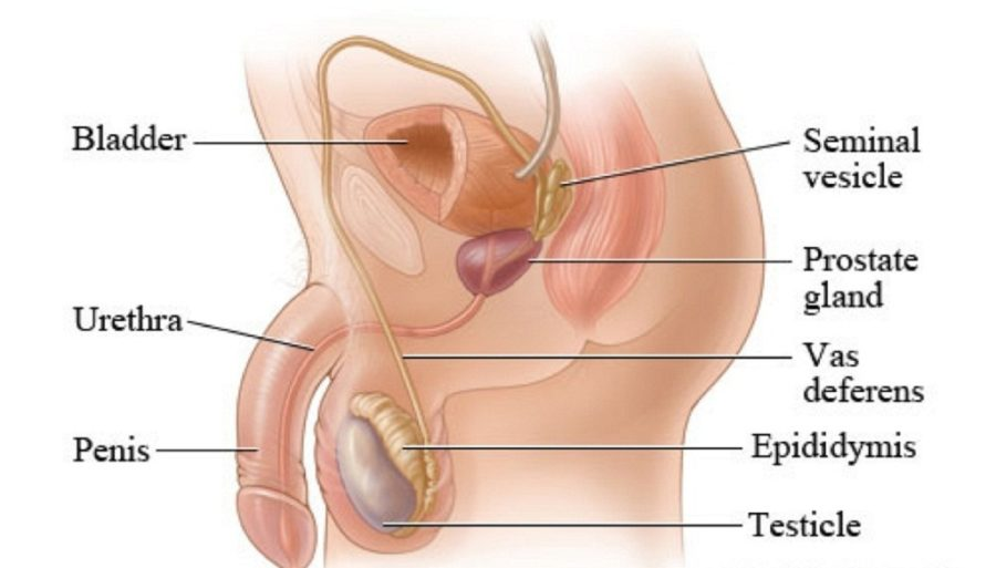 diagram of the male reproductive system organs