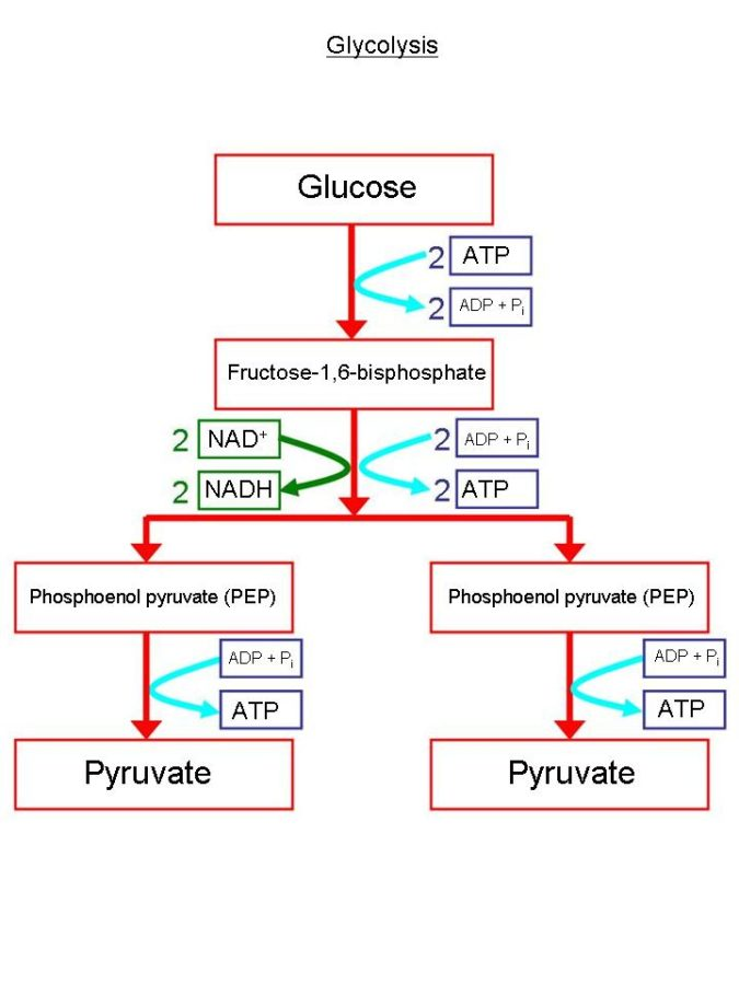 glycolysis diagram glucose
