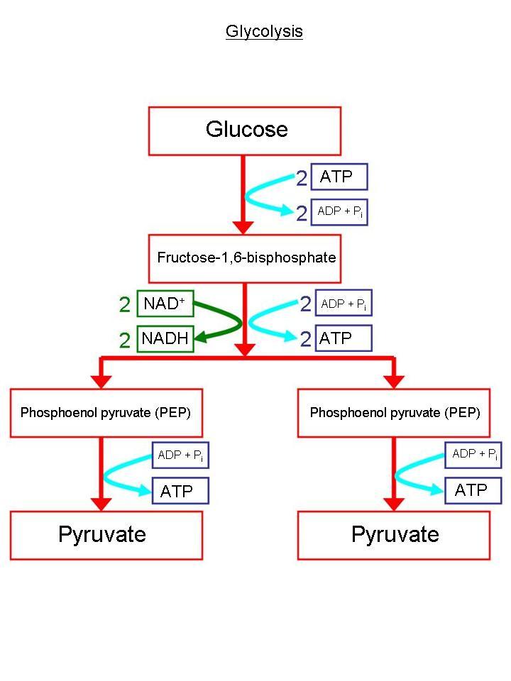 Printable Glycolysis Diagrams Hd