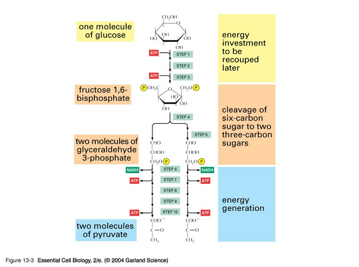 glycolysis diagram labeled