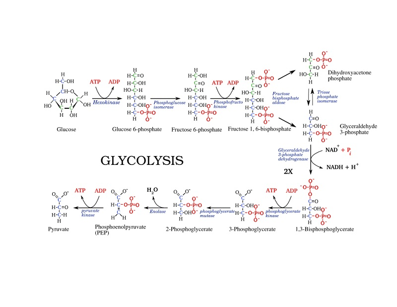 glycolysis diagram steps