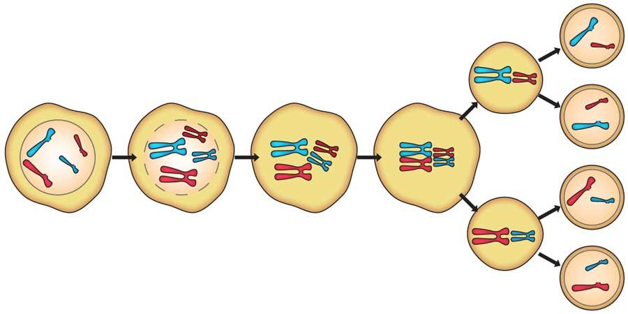 meiosis diagram unlabeled
