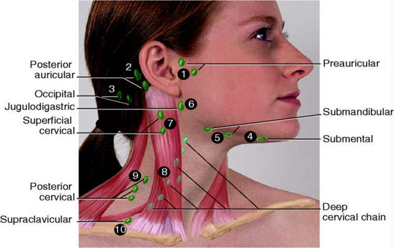 neck diagram lymph