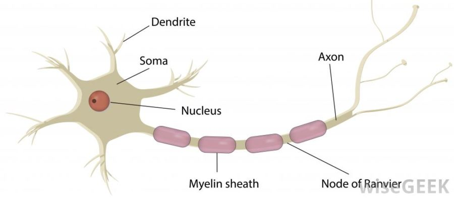 nerve diagram axon