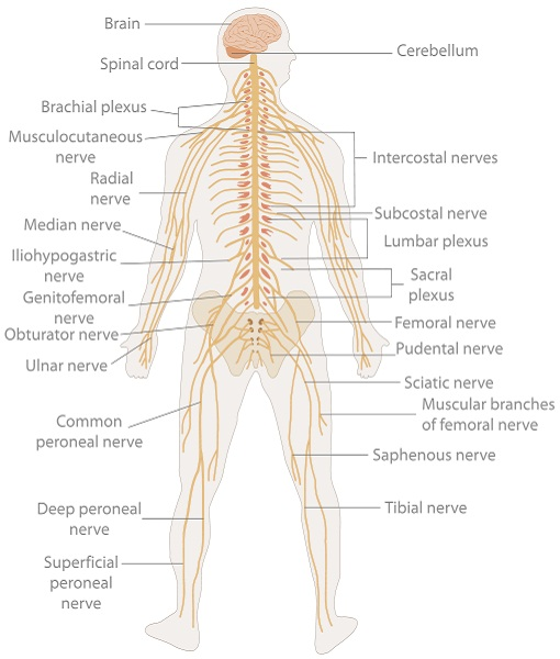 nerve diagram body