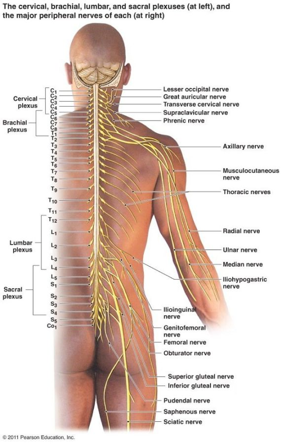 nerve diagram human