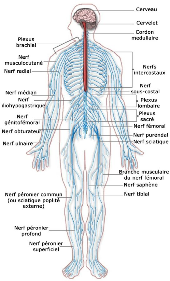 nerve diagram peripheral