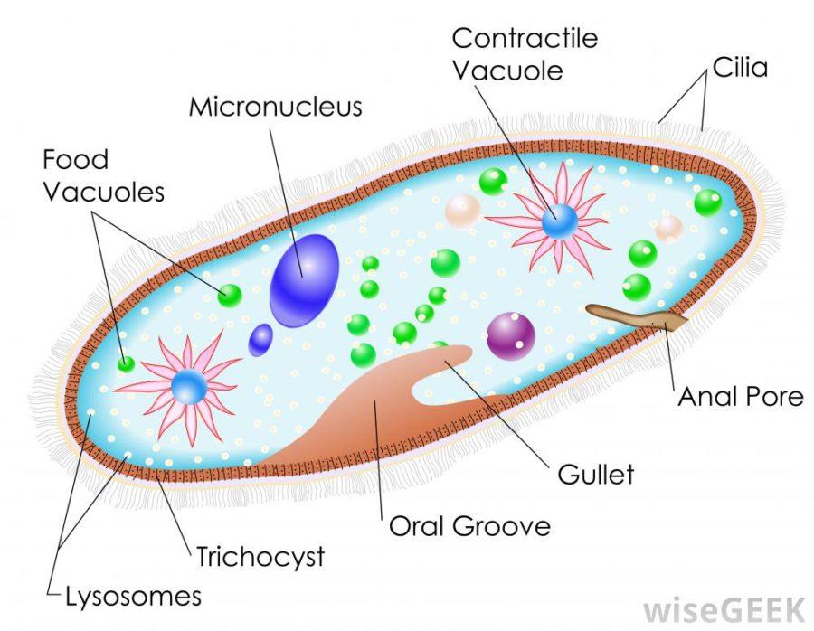 paramecium diagram cell