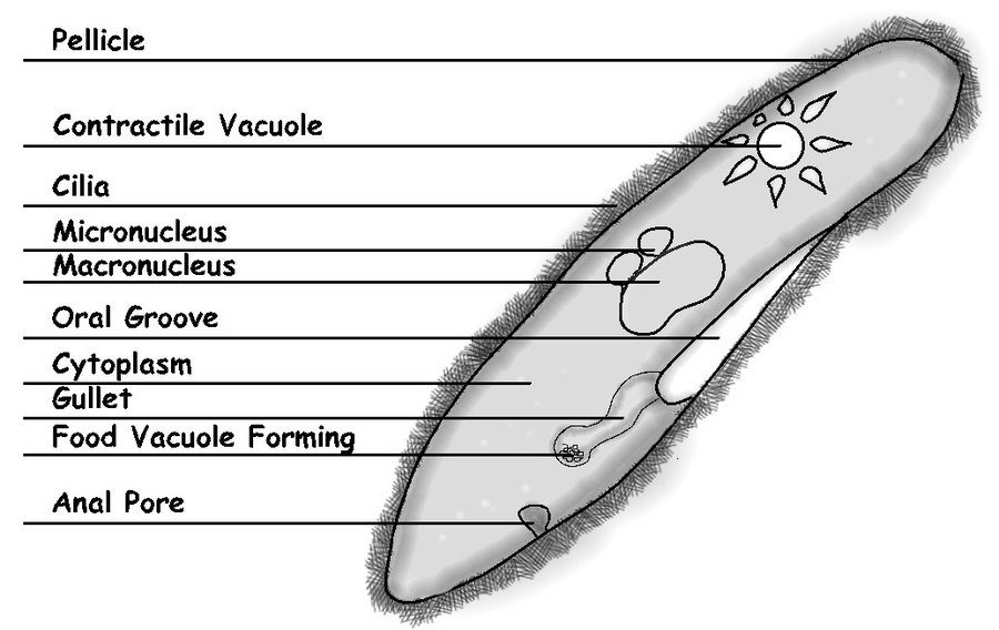 paramecium diagram science
