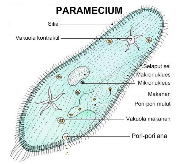 paramecium diagram worksheet