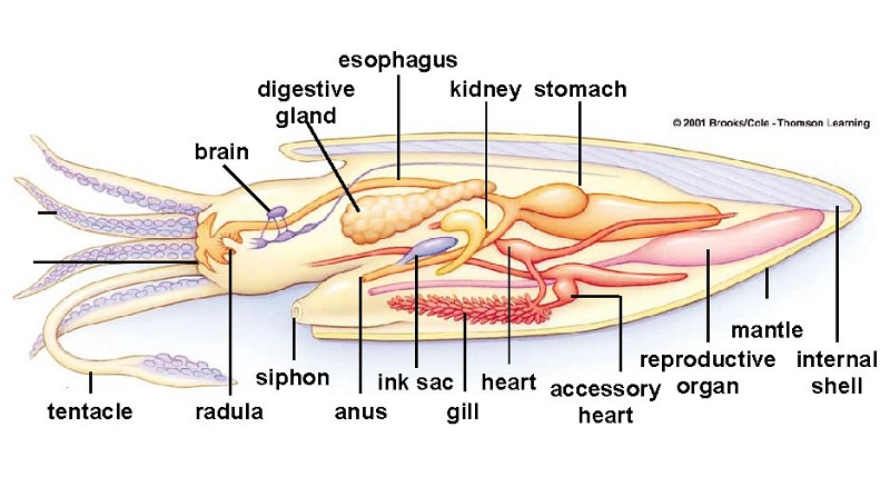 squid diagram digestive