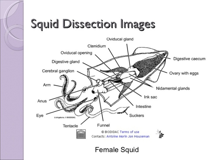 squid diagram female