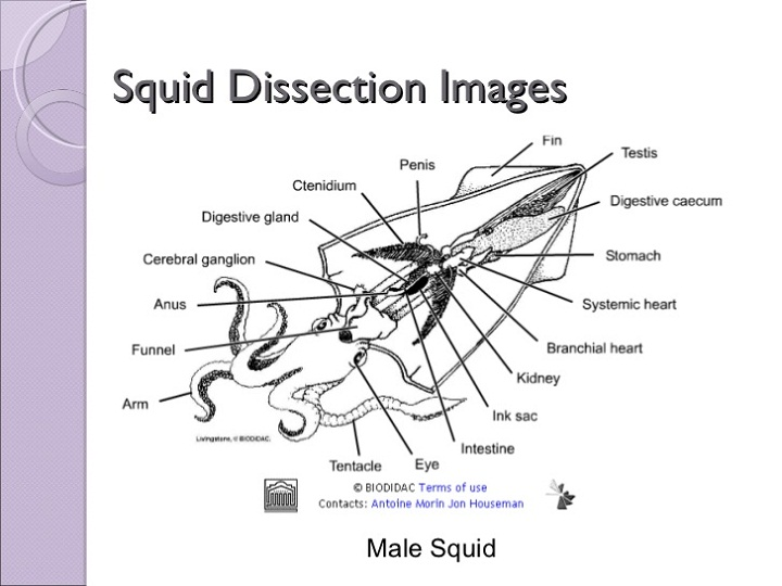 squid diagram male