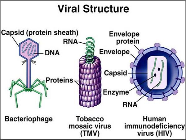 virus diagram protein