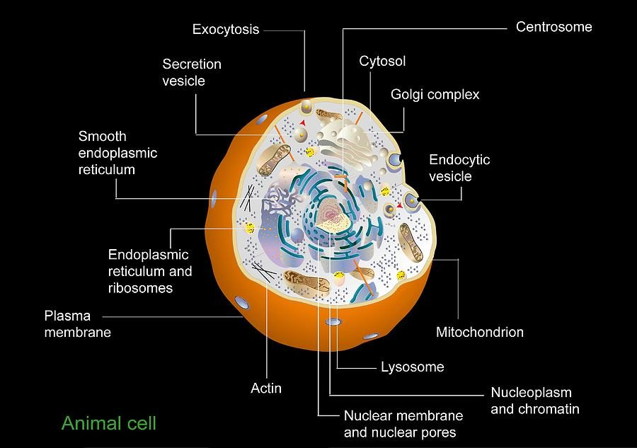animal cell diagram labeled anatomy