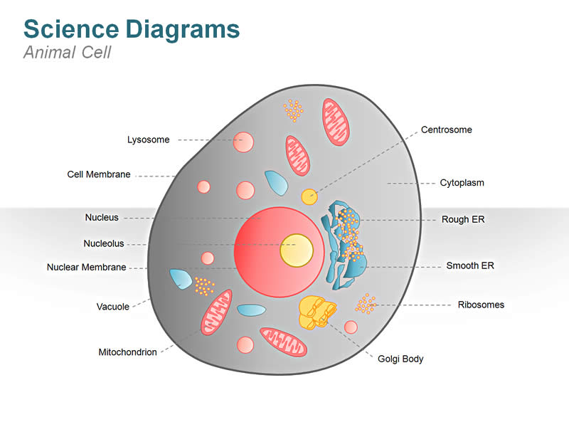 animal cell diagram labeled models