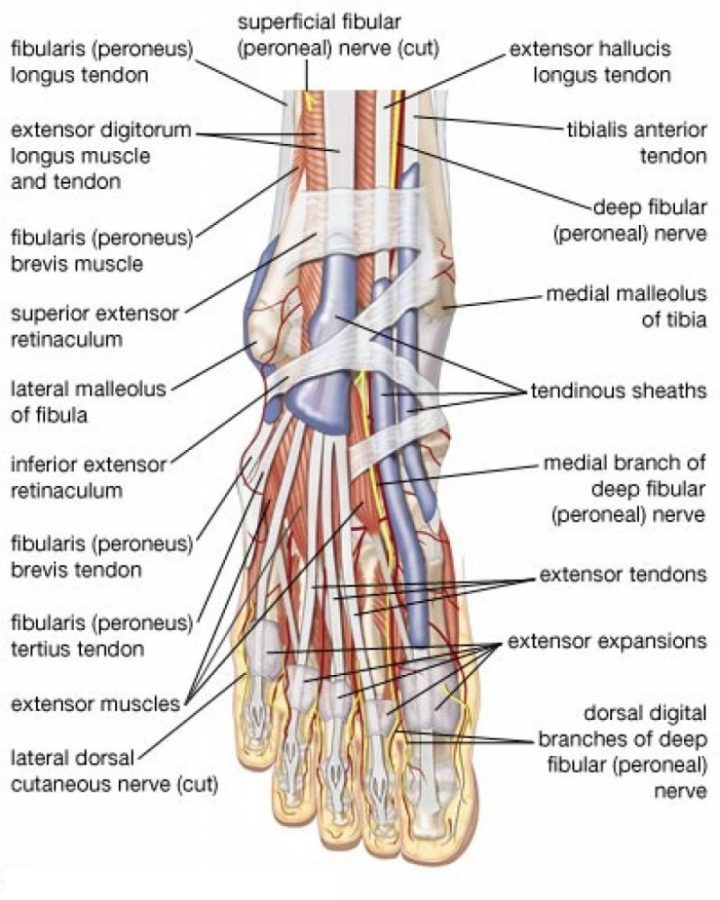 ankle diagram labeled