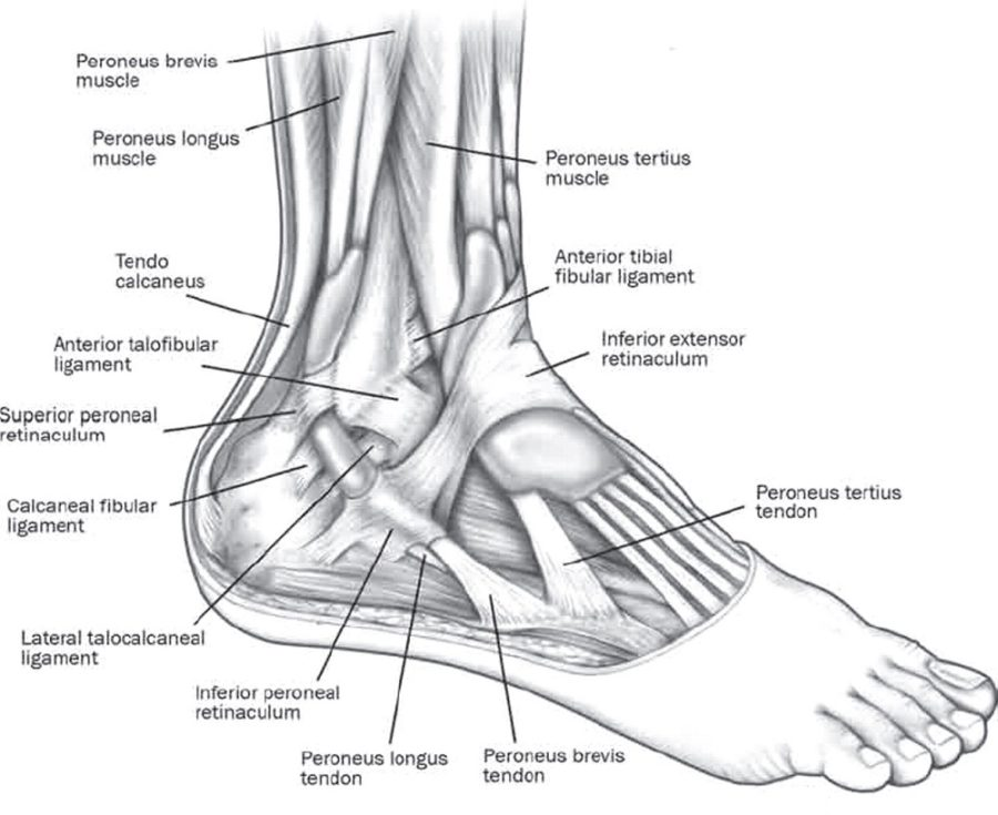 ankle diagram page