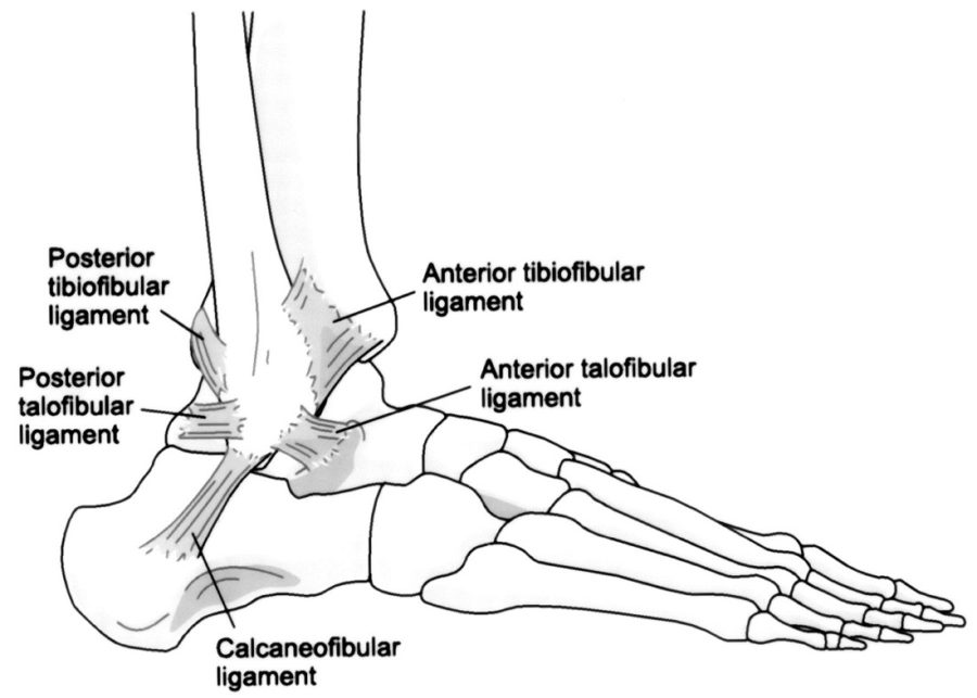 ankle diagram printable