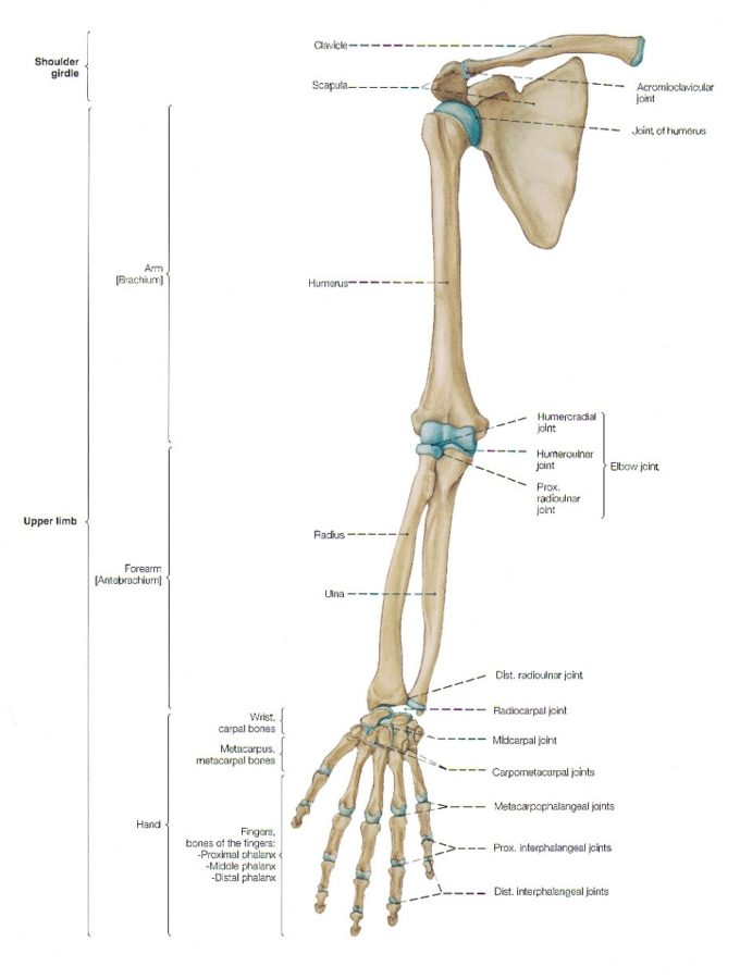 arm diagram labeled