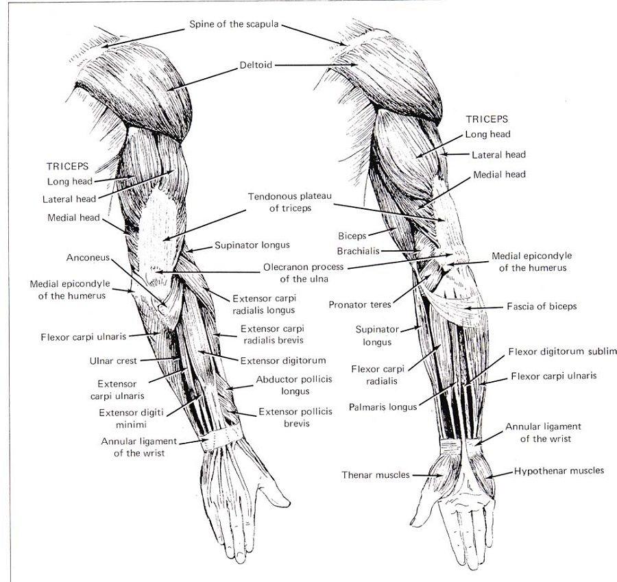 arm diagram printable