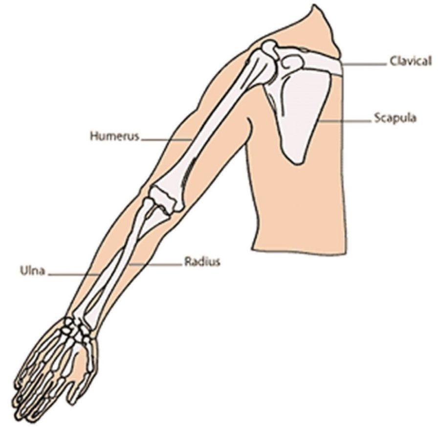 arm diagram simple