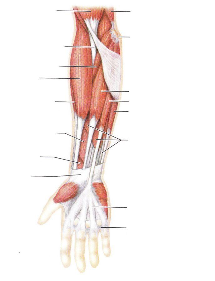 arm diagram worksheet