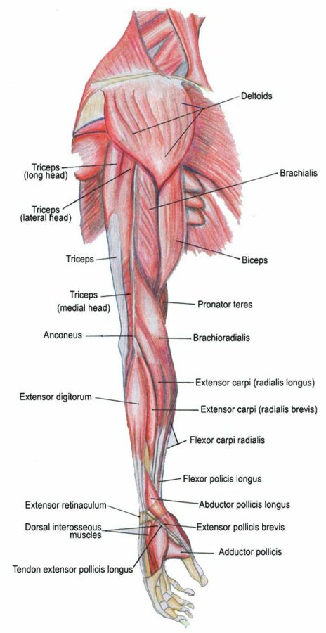 arm muscle diagram anatomy