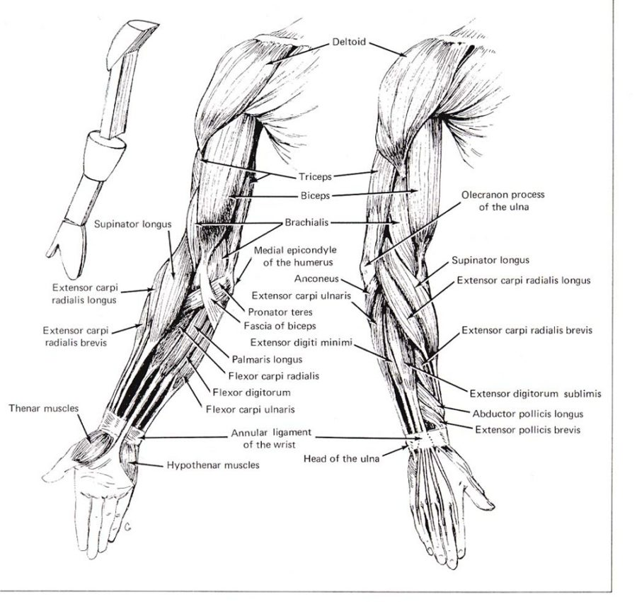 arm muscle diagram human