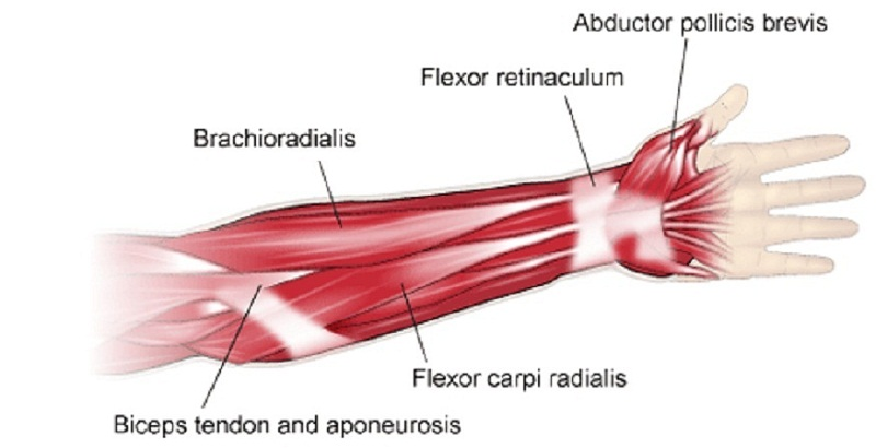 arm muscle diagram lower