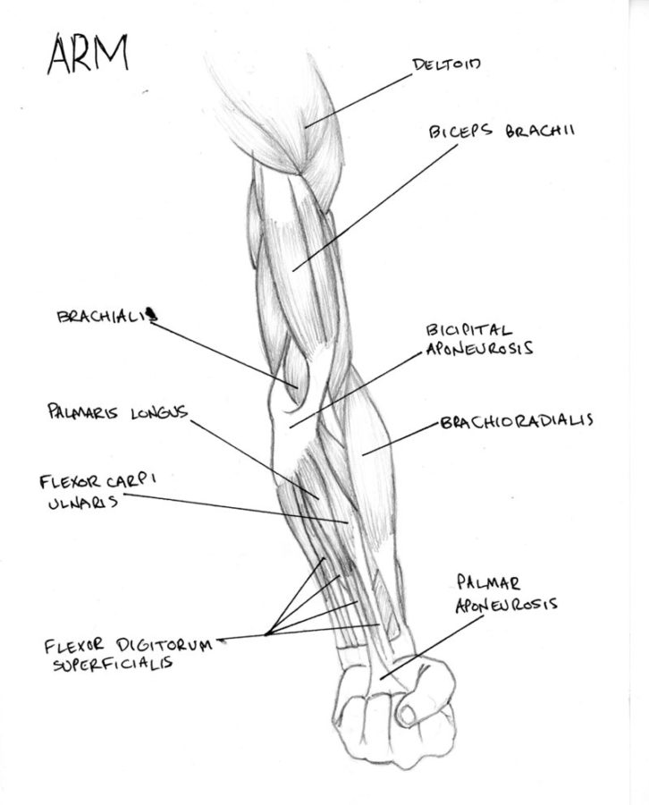 arm muscle diagram structure