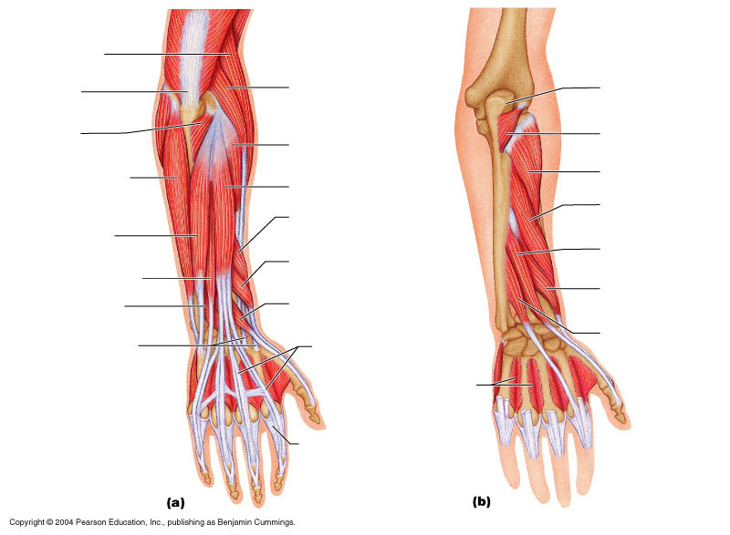 arm muscle diagram unlabeled