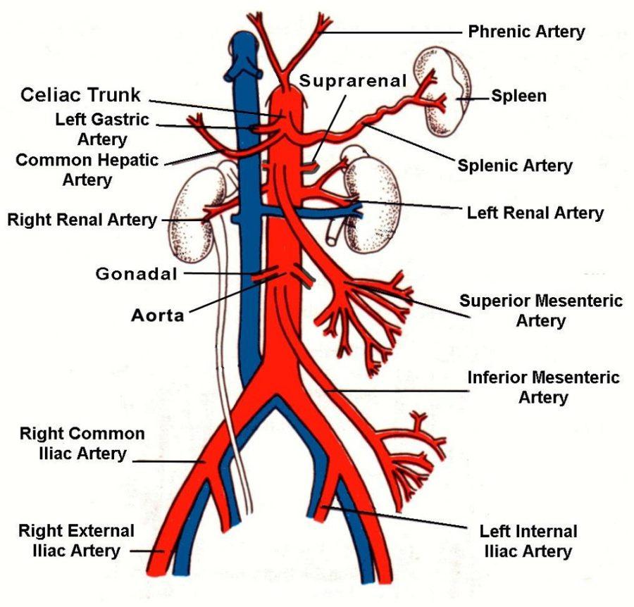 artery diagram anatomy
