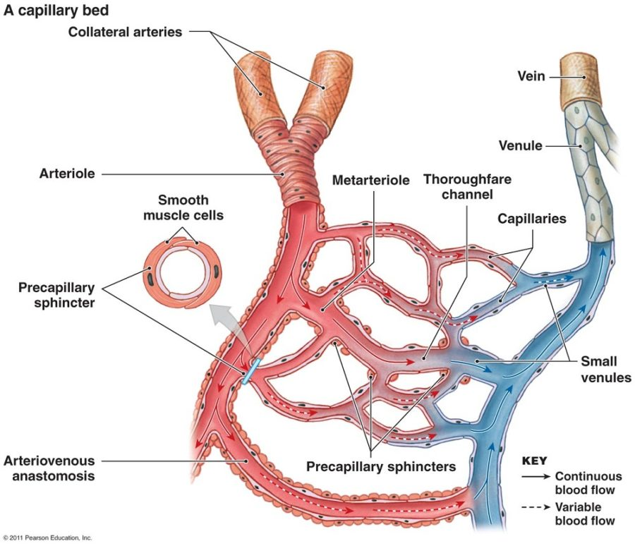 artery diagram labeled