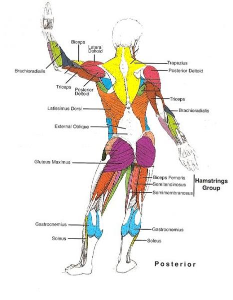 back muscle diagram body