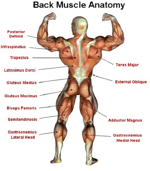 back muscle diagram human body
