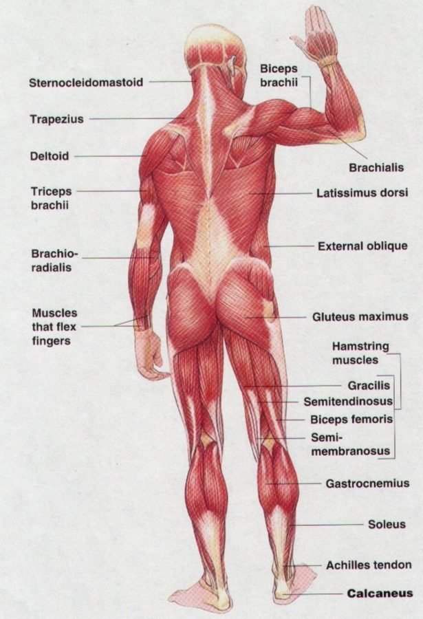 back muscle diagram labeled
