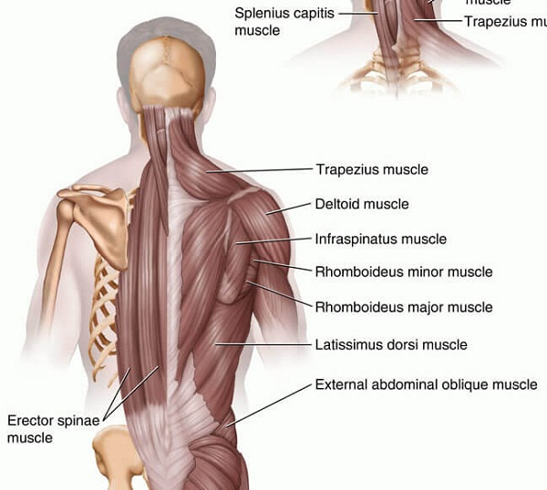 back muscle diagram spine