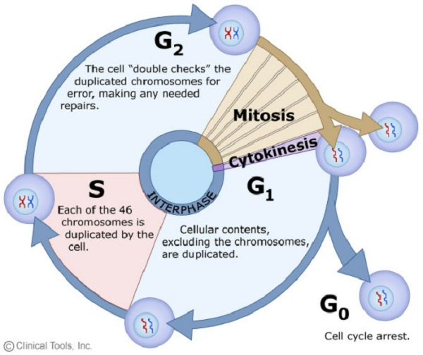 cell cycle diagram mitosis