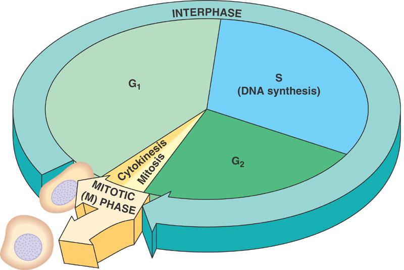 cell cycle diagram phase