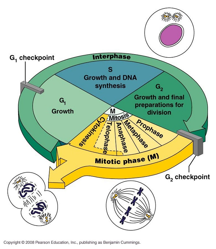 cell cycle diagram phases
